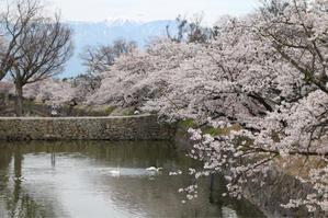 松本城の桜2019*その2 - my small garden~sugar plum~