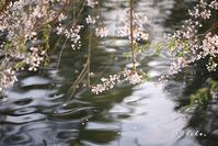 桜 / Cherry blossoms - Seeking Light - 光を探して。。。