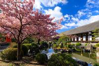 桜咲く京都2019 三十三間堂の花々 - 花景色-K.W.C. PhotoBlog