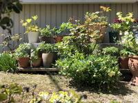 なごり惜しい季節・・・ - リリ子の一坪ガーデン