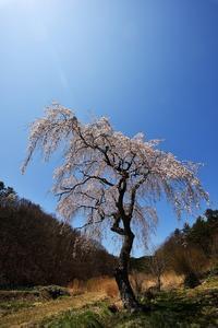 桜巡りその5 - 源爺の写真館