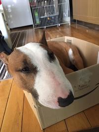 箱犬とレモンの花 - ミニチュアブルテリア ダージと一緒3