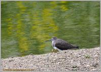 水辺のクサシギと平成最後の満月 - 野鳥の素顔 <野鳥と日々の出来事>
