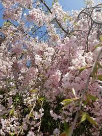 垂れ桜🌸 - takakomamaのキルトパラダイス