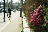 咲き始めたエゾムラサキツツジと池袋交通事故その後 - 照片画廊