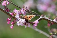越冬ヒオドシチョウとイシガケチョウByヒナ - 仲良し夫婦DE生き物ブログ