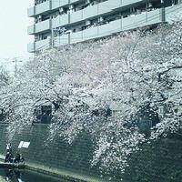 ハマの桜見物大岡川上流編19.03.30 12:29 - スナップ寅さんの「日々是口実」