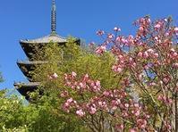 名残の桜とロールケーキ - Kyoto Corgi Cafe