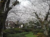 サクラさくら桜 - グリママの花日記