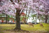 奈良公園2019春 - *花音の調べ*
