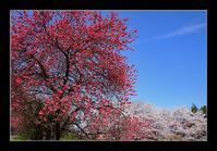 花桃と桜 - Desire