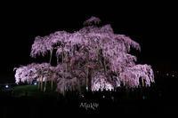 三春の滝桜 - Aruku