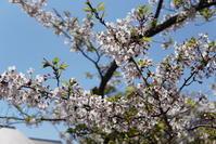 4.13 鶴岡八幡宮 - 週末はソニーα6500でぶらり鎌倉・湘南散歩!