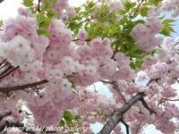 「愛おしい八重桜 Ⅱ」 - こころ絵日記 Vol.2
