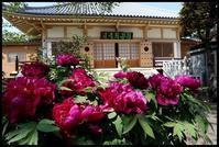 ぼたんまつり☆禅定院 -  one's  heart