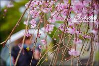 さくらの花が咲いて - すずちゃんのカメラ!かめら!camera!
