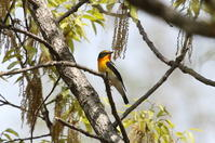 MFの森にキビタキが - 私の鳥撮り散歩