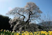 備北花巡り2019.4.20その3小奴可の要害桜 - 猫の畳返し