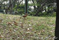 遠くの「ヤツガシラ」さんに会いに行って来ました^^ - ケンケン&ミントの鳥撮りLifeⅡ