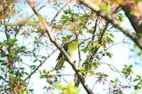桜の中にアオバトが** - barbersanの野鳥観察