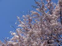 桜満開! - 漆器もある生活