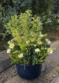 大きな鉢で寄せ植え - ヒバリのつぶやき