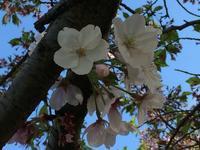 桜、来年も・・・ - takatakaの日記