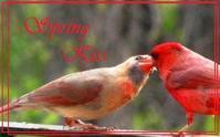 カーディナル 春の接吻 (ショウジョウコウカンチョウ) - NYからこんにちは