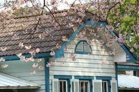 山手公園の桜 - 木洩れ日 青葉 photo散歩