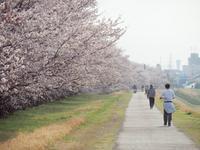 近所の桜5 - 光の音色を聞きながら Ⅳ