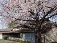 近所の桜ラスト - 光の音色を聞きながら Ⅳ