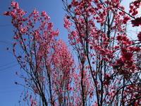 ✿✿満開の花桃✿✿ - 拝啓 よねこさま