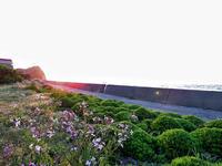 夫婦雉の散歩 - 清治の花便り