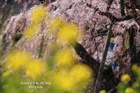SAKURA*2019その8 (三春滝桜・後編) - FUNKY'S BLUE SKY