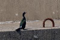 ヒメウ - ごっちの鳥日記