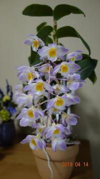 ブロンカルティエ咲きました。大野 - 所沢洋蘭会