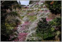 山里の枝垂れ桃 - 野鳥の素顔 <野鳥と日々の出来事>