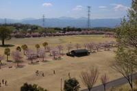 山桜(2) (2019/4/18撮影) - toshiさんのお気楽ブログ
