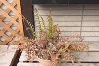 Drynaria sinica - PlantsCade -2nd effort