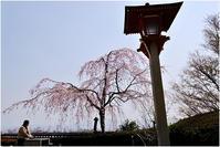 善峯寺の枝垂れ桜 - HIGEMASA's Moody Photo