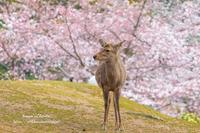 奈良公園2019春② - *花音の調べ*