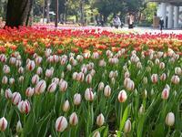 横浜公園の4万本のチューリップ♪横浜は花、花、花だらけ♪ - ルソイの半バックパッカー旅