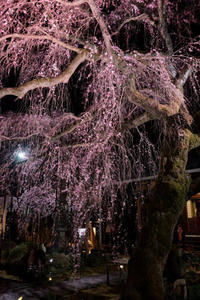 専称寺~桜、苦手なライトアップ - katsuのヘタッピ風景