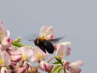 フジの花にクマバチ - 工房もくきち・・・日々の暮らし