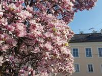 2019年4月春ザルツブルクの花 - ザルツブログ ザルツブルク在住者による、グルメ・文化・旅行の贅沢写真日記