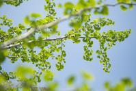 新緑の季節。銀杏の葉をじっくり眺めてみよう! - ナナイロノート