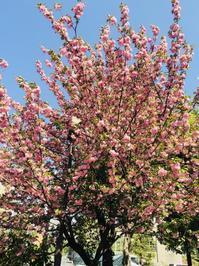 ギリギリ桜見れました。 - soraたび
