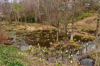 やっと、水芭蕉の花が咲いてきました~。 - 乗鞍高原カフェ&バー スプリングバンクの日記②