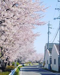 桜めぐり2 - カメラのまばたき