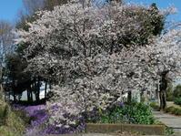 近所の桜 - ねこ飛び出し注意